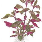 Alternanthera reineckii 'Purple' (lilacina) - 1